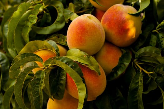 fruit: peaches